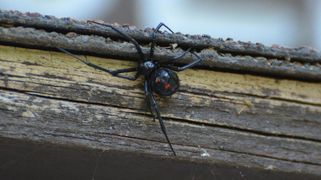 Black Widow Spider on home