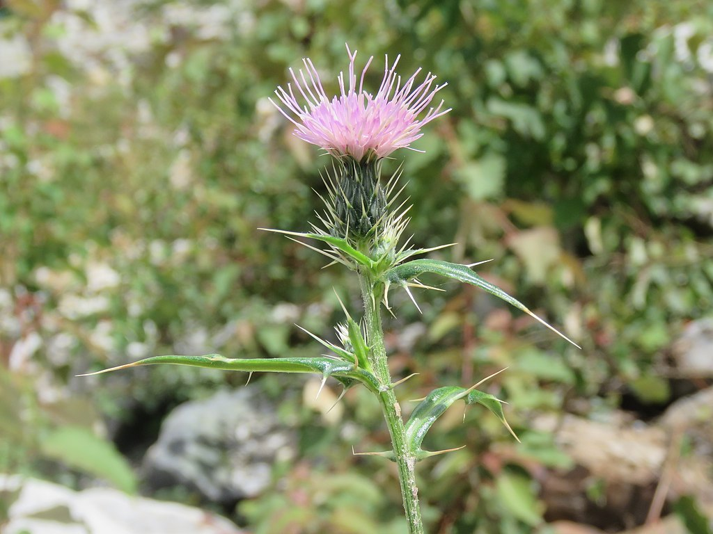 Canadian Thistle in lawn in fall