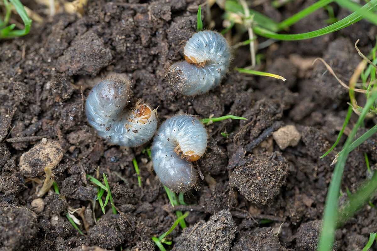 grubs in grass and soil