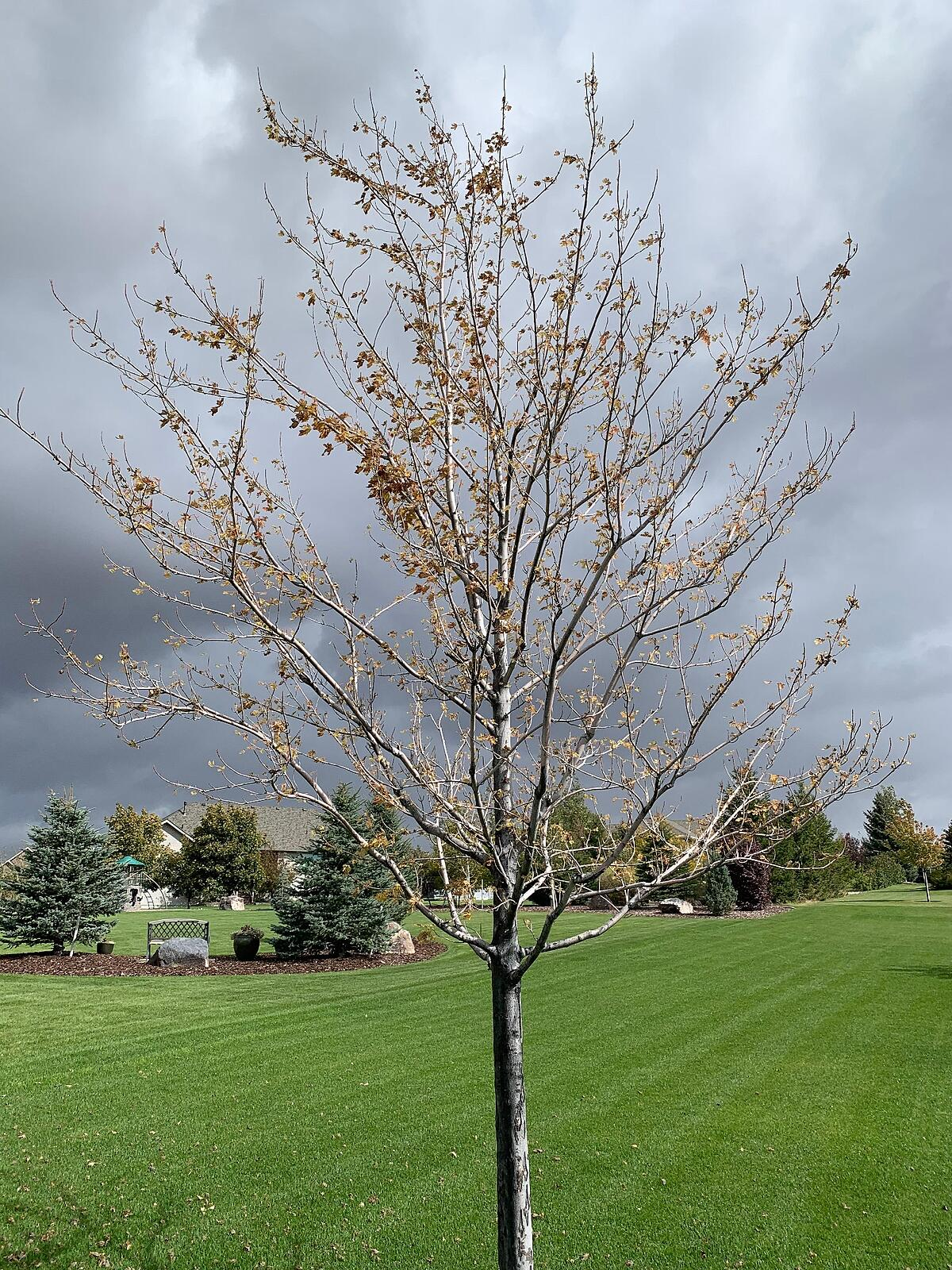 Maple tree with iron chlorosis in need of deep root tree fertilization